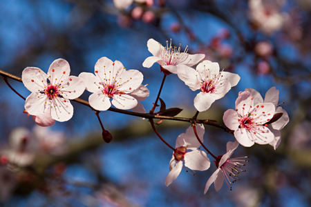 prunus cerasifera: Prunus cerasifera flowers in spring Stock Photo