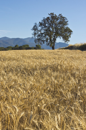 Wheat field with an oak tree on the horizon photo