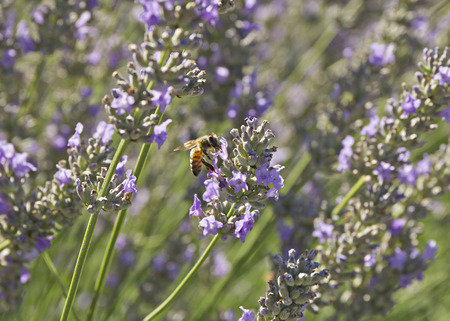 nectar: Bee sucking nectar from the flowers of lavender