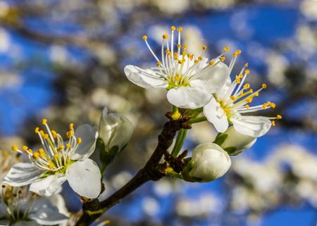 Weiße Blumen blühen im Frühjahr Standard-Bild - 42561385