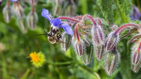 Bee saugen Nektar in einem star Standard-Bild - 42561392