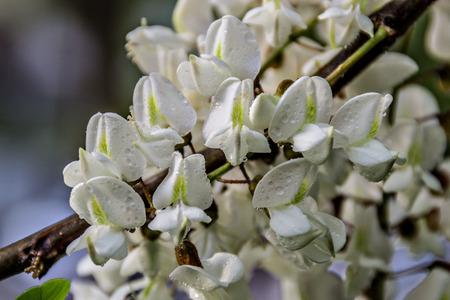 Robinie Blumen nach regen Standard-Bild - 46499556
