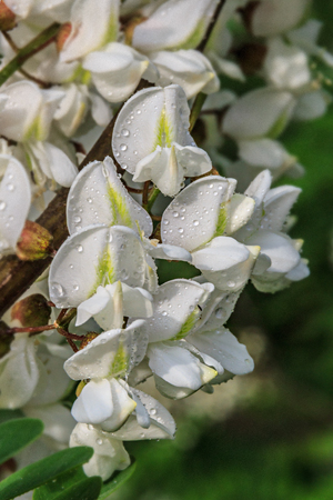 Black locust flowers after rain