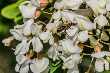 langosta: Flores algarrobo negro y abeja Foto de archivo