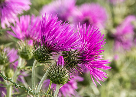 Purple milk thistle flowers Stock Photo
