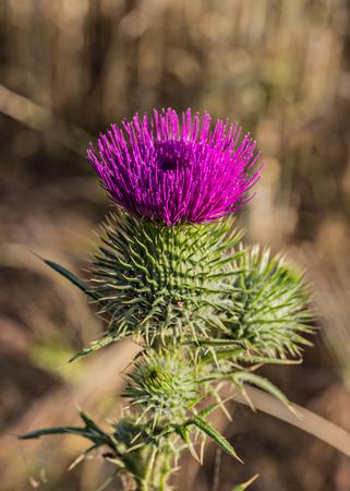 Speer Distel Blume unter Sommersonne Standard-Bild - 46499684