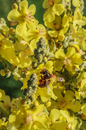 Verbascum thapsus Great mullein and bee