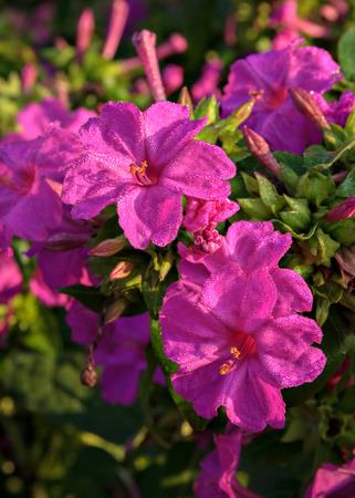 Marvel of Peru Mirabilis jalapa with morning dew