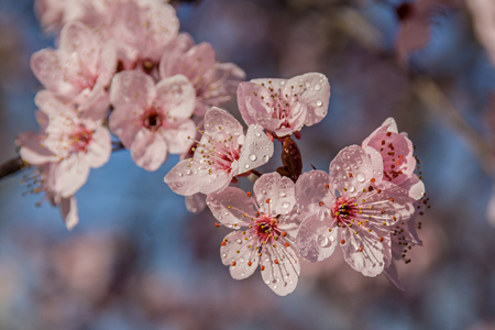 Flowers of Prunus cerasifera after rain
