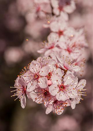 Flowers of Prunus cerasifera after rain