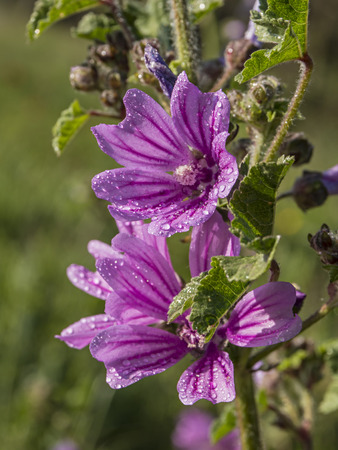 Mallow Flowers with the morning dew