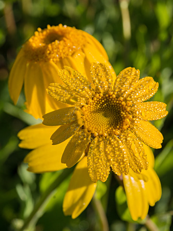Corn marigold flowers With the morning dew