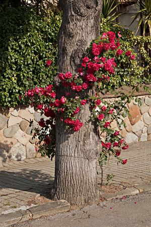Rosebush planted in the shade of a tree