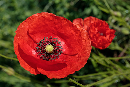 Poppies on the meadow in spring