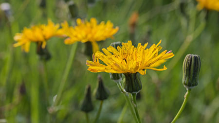 Beaked hawksbeard (Crepis vesicaria) on the meadow
