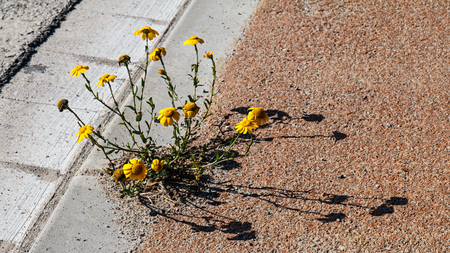 A clump of daisies growing on hard ground Stock Photo