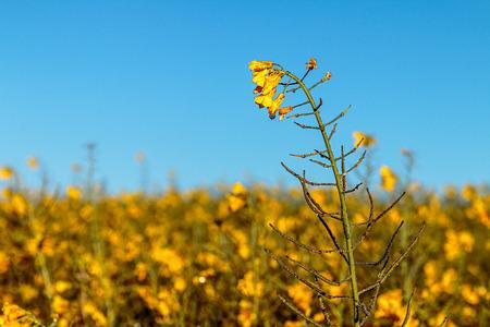 Raps- Blumen mit Morgentau Standard-Bild - 67409790