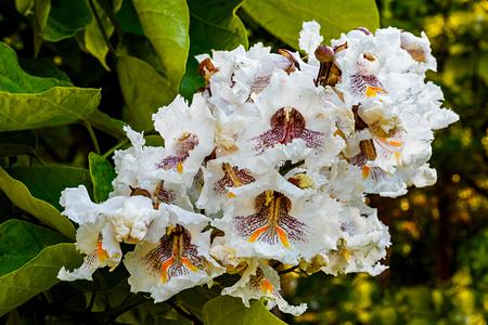 Cigartree Blumen unter der Frühlingssonne Standard-Bild - 71121601