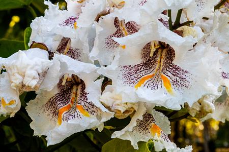 Cigartree Blumen unter der Frühlingssonne Standard-Bild - 71121602