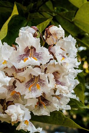 Cigartree Blumen unter der Frühlingssonne Standard-Bild - 71121600