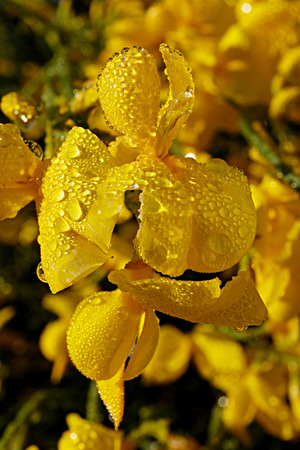Spanish broom flowers with morning dew