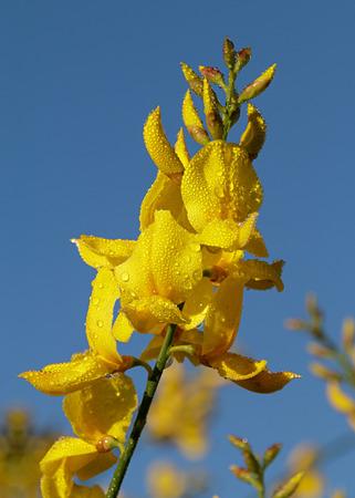 Spanische Besenblumen mit Morgentau Standard-Bild - 71554418