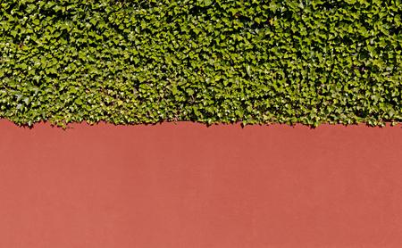 Efeu und Wand Toskana Farbe Hintergrund Standard-Bild - 71820209