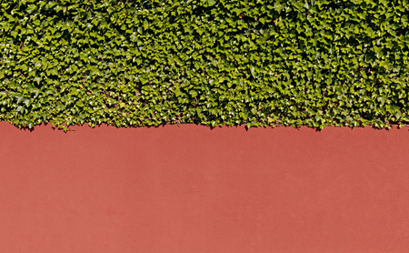 Ivy and wall tuscany color background