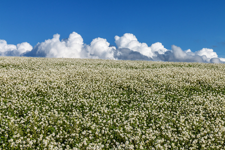 Meadow with white flowers and clouds