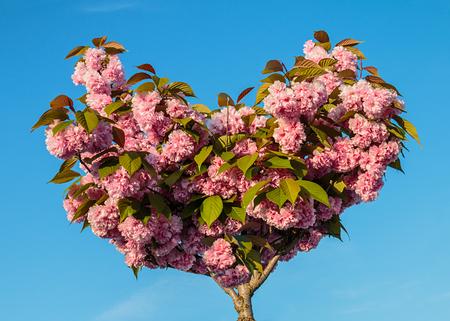 Prunus serrulata Kanzan spring flowers
