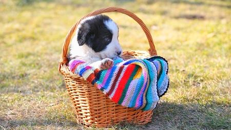 shepherd romanian dog Stock Photo - 11931678