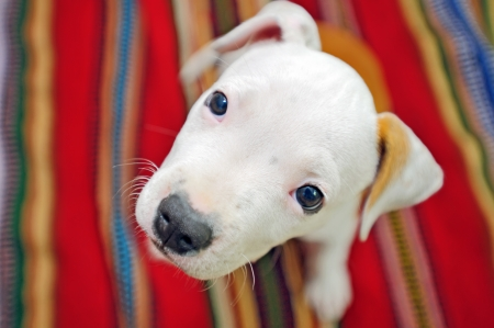 American Staffordshire Terrier dog Stock Photo - 16475729