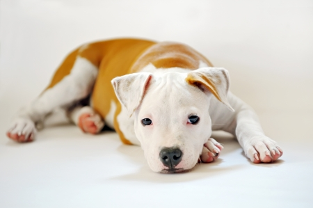 American Staffordshire terrier  Stock Photo - 16474260