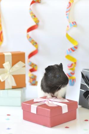 guinea pig celebrate Stock Photo - 16473544