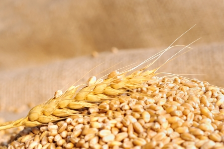 wheat seeds on rough material Stock Photo - 16476189