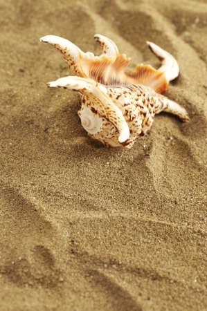 seashell on sand Stock Photo - 16482511