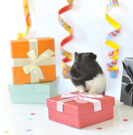 guinea pig and gifts Stock Photo - 16480237
