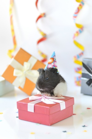 guinea pig and gifts Stock Photo - 16480241