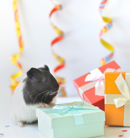 guinea pig and gifts Stock Photo - 20777763
