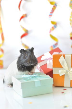 guinea pig and gifts Stock Photo - 16481005