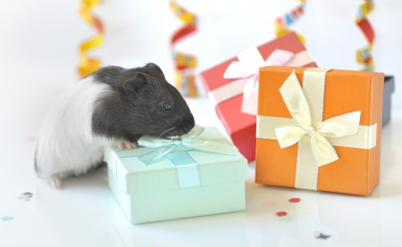 guinea pig and gifts Stock Photo - 16483204