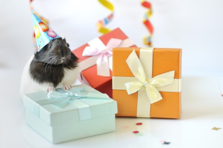 guinea pig and gifts Stock Photo - 20777765