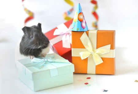 guinea pig and gifts Stock Photo - 16483238