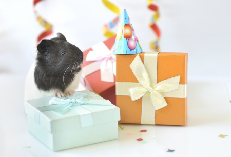 guinea pig and gifts Stock Photo - 16509477