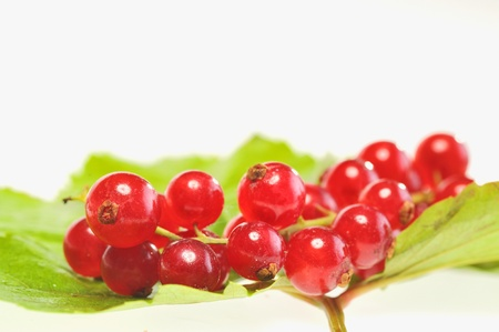 red currant isolated on a white Stock Photo - 16481628