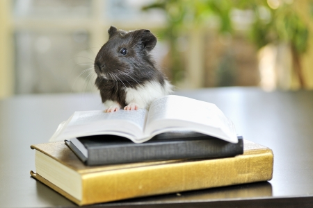 guinea pig reading Stock Photo - 16481173