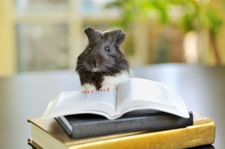 guinea pig reading Stock Photo - 16482243