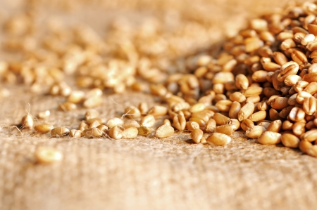 wheat seeds on rough material Stock Photo - 16481385