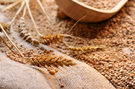 wheat seeds on rough material Stock Photo - 16482241
