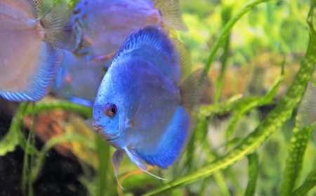 south american discus fish  photo